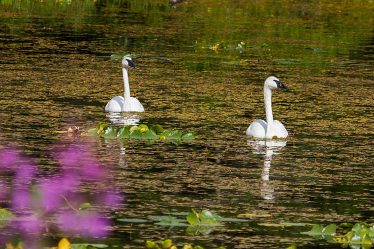 Temporary or permanent inhabitants include swan, geese, ducks, shorebirds, and bald eagles © Wayde Carroll Photography