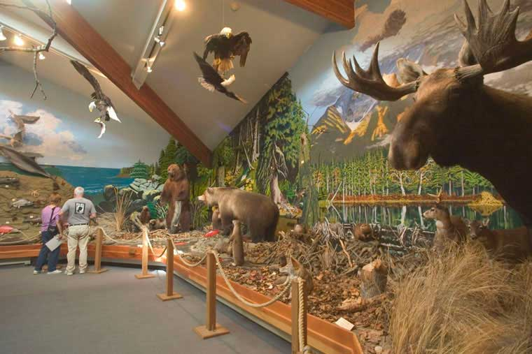 Check out the wildlife diorama at the American Bald Eagle Foundation in Haines © Matt Hage