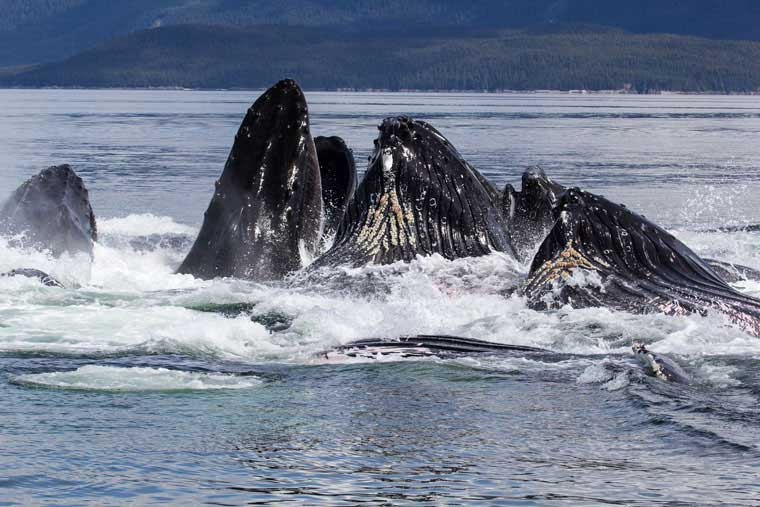 Whale watching opportunities abound around Juneau © Sean Ruddy / Alaska Marine Highway System