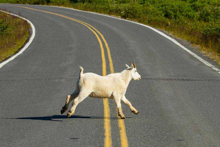 Animals abound on Kodiak island like this goat crossing the road © Wayde Carroll Photography