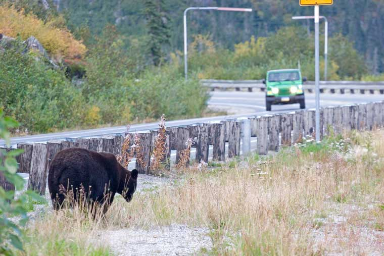 Wildlife is all around like this bear just off the side of the highway © Skagway CVB