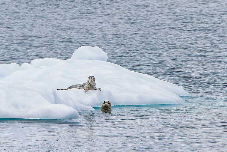 Seals lay about leisurely on floating icebergs © Wayde Carroll Photography