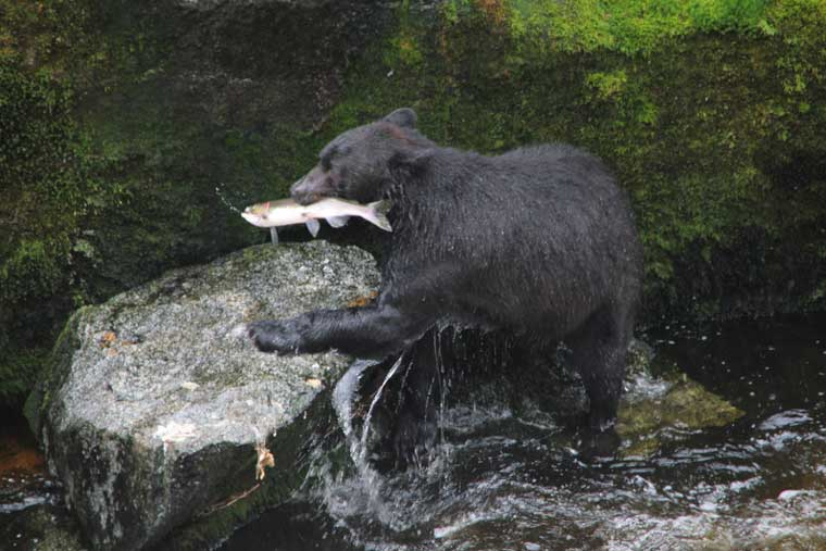 Bear viewing is made simple at the Anan Creek Observatory © Wrangell CVB